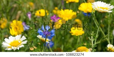 Cornflower amidst white and yellow Daisies - stock photo