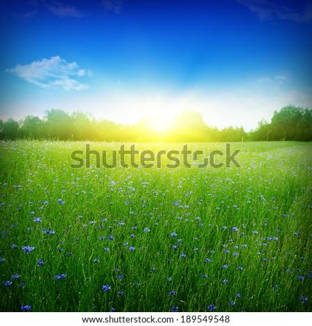 Cornflower field at sunset. - stock photo