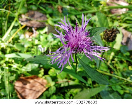 cornflower field, purple wild flower