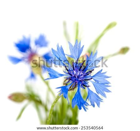 cornflower flower closeup isolated - stock photo