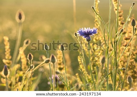Cornflower in the field at dusk. - stock photo