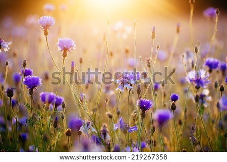 Cornflowers and light of the sunrise. - stock photo