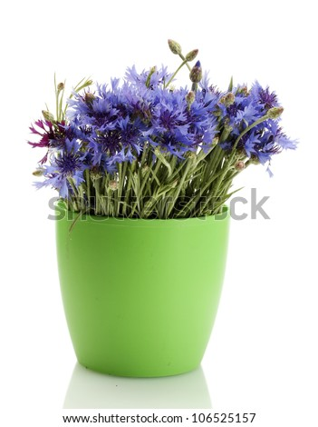 cornflowers in flowerpot isolated on white