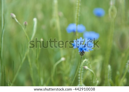 Cornflowers in the meadow - stock photo