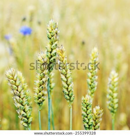 cornflowers in  wheat field in summer day - stock photo