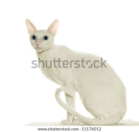 Cornish-rex cat - stock photo