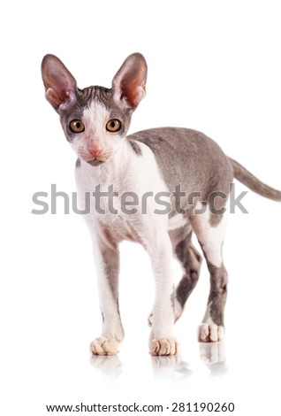 Cornish Rex cat isolated on a white background