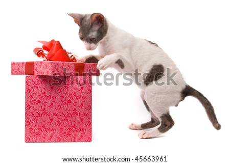 Cornish rex cat looking in gift box on a white background - stock photo