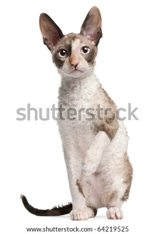 Cornish Rex kitten, 4 months old, sitting in front of white background