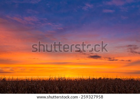 Cornstalks are silhouetted by the vivid colors of a beautiful sunset sky. - stock photo
