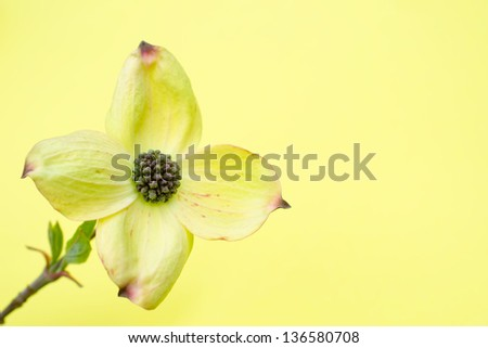 Cornus/Ormonde - stock photo