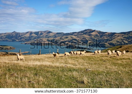 Corriedale Sheep grazing on hill at Banks Peninsula in autumn, with bay views near Akaroa, South Island, New Zealand. - stock photo