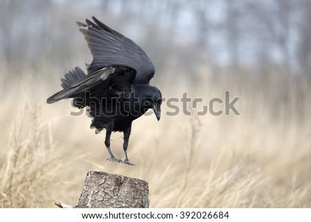 Corvus corax - stock photo