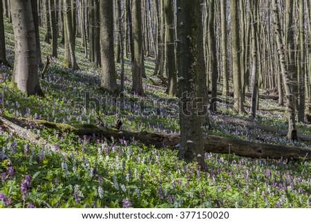 Corydalis flowers (Corydalis cava) on the Freeden mountain in Lower Saxony, Germany - stock photo