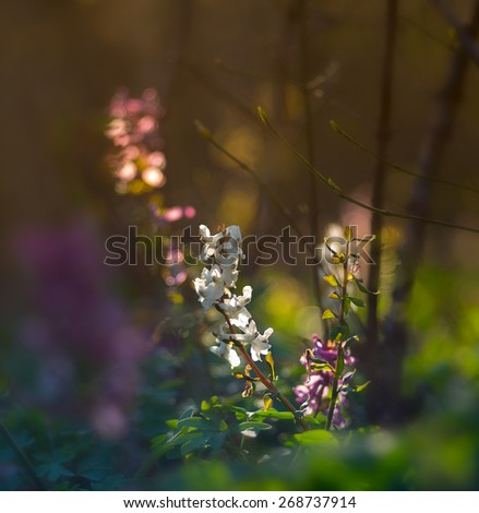 Corydalis solida purple spring wildflowers  - stock photo