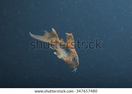 Corydoras Catfish - stock photo