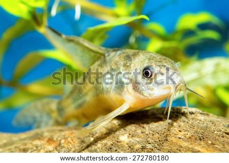 Corydoras Fish - stock photo
