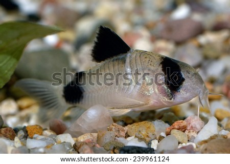Corydoras fish on the bottom and in the aquarium. - stock photo