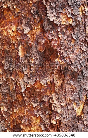 Corymbia terminalis, also known as the desert bloodwood, is a tree native to Australia - stock photo