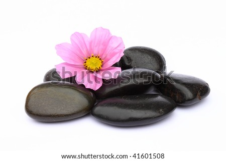 Cosmea blossom and black pebbles on white Background