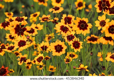 Cosmidium yellow flowers red center flowers stock photo royalty cosmidium yellow flowers with red center the flowers grow in a thick carpet on mightylinksfo