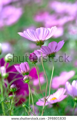 Cosmos Bipinnatus flowers in the garden with the flowers symbolize a happy family together in the beautiful garden and romance with father, mother and children under warm - stock photo
