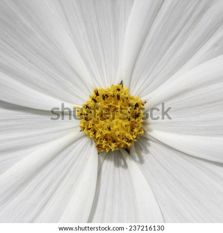 Cosmos bipinnatus, Garden Cosmos, Mexican Aster, decorative summer flower in Germany - stock photo