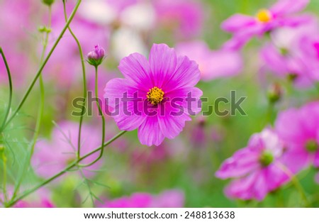 Cosmos colorful flower in the field - stock photo