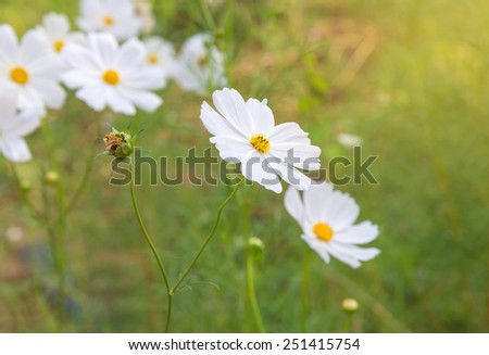 Cosmos colorful flower in the field. - stock photo