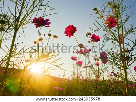 cosmos field with sunbeam - stock photo