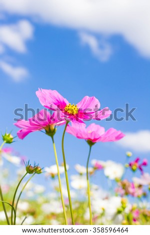 Cosmos flower and blue sky - stock photo