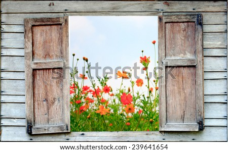 cosmos flower and old wood window - stock photo