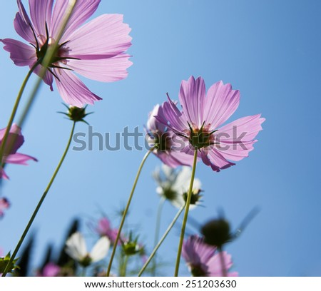 cosmos flower close up in low angle shot  - stock photo