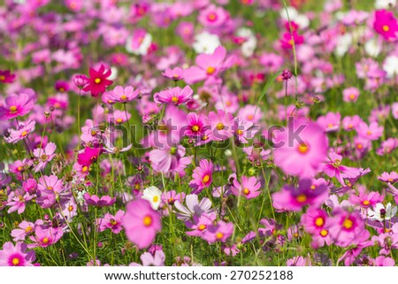 cosmos flower,colorful flower field in winter - stock photo