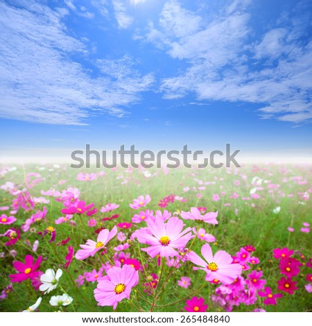 cosmos flower field and nice blue sky - stock photo