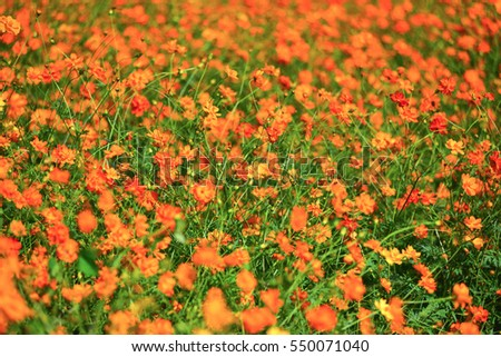 cosmos flower field in summer with blur background