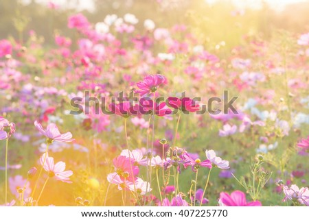 cosmos flower field in the morning at singpark in chiangrai, Thailand - stock photo