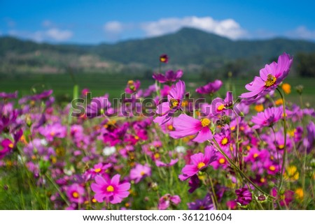 Cosmos flower in the field. - stock photo