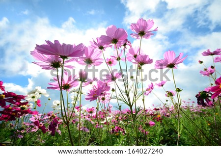 Cosmos flower on cloud and blue sky - stock photo