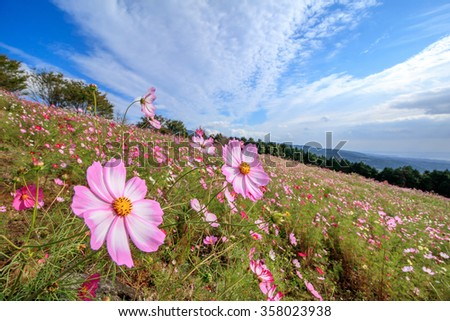 Cosmos flowers at Shirakimine, Isahaya, Nagasaki, Japan - stock photo