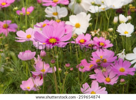 Cosmos flowers blooming in the garden - stock photo