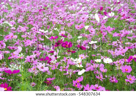 Cosmos flowers blooming in the garden.Cosmos flowers