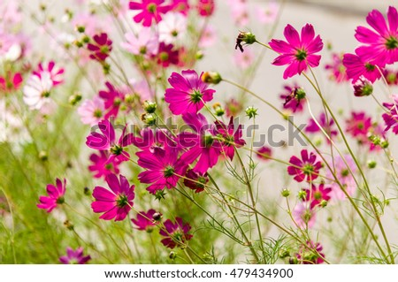 Cosmos flowers blooming in the garden summer season