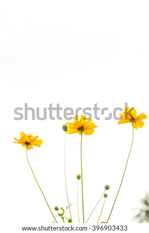 Cosmos flowers close up in sky background.