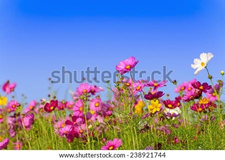 Cosmos flowers field in Boon Rawd Farm, Chiangrai, Thailand - stock photo