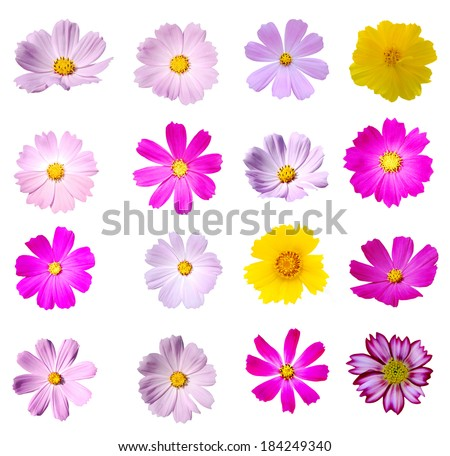 Cosmos flowers in America
