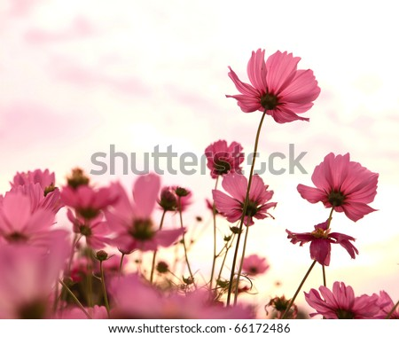 Cosmos flowers in blooming with sunset - stock photo