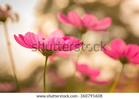 cosmos flowers in the garden with blue sky and clouds background