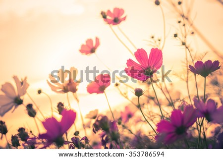 Cosmos flowers in the garden with sky  background in vintage style soft focus.