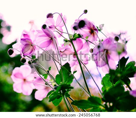 Cosmos flowers in the morning in pure garden. Beautiful bokeh thanks to tilt-shift lens used to accent the pink flowers and to emphasize the attention on them - stock photo